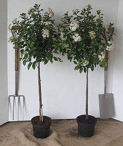 Pair Of Standard Viburnum Tinus - gifts for his home