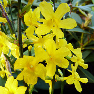 Wonderful Winter Flowering Jasmine