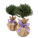Aromatic Pair Of Mini Stemmed Thyme