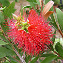 Festive Plant Gifts Australian Bottle Brush Plant