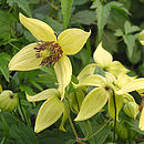 Clematis Golden Harvest 50th Golden Anniversary Gifts