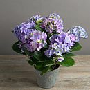 Large Hydrangea Blue Living Plant Gift