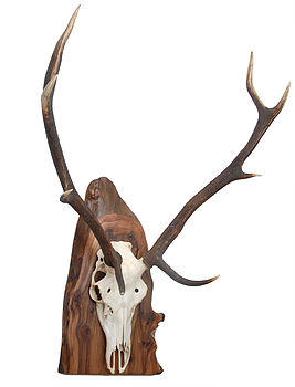 Red Deer Antlers Mounted On Wood