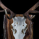 Royal Red Stag Antlers Mounted On Wood