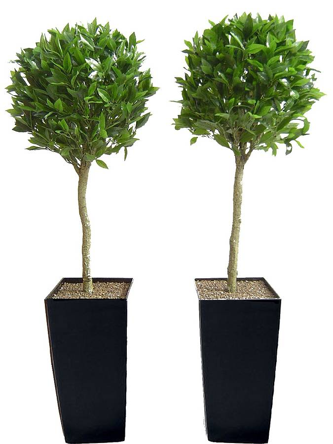 Artificial Bay Tree By Artificial Landscapes