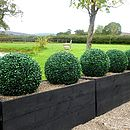 Boxwood balls in timber trough