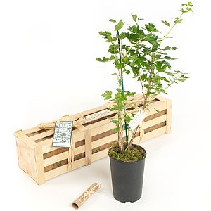 Gooseberry Bush New Baby Gift - flowers & plants