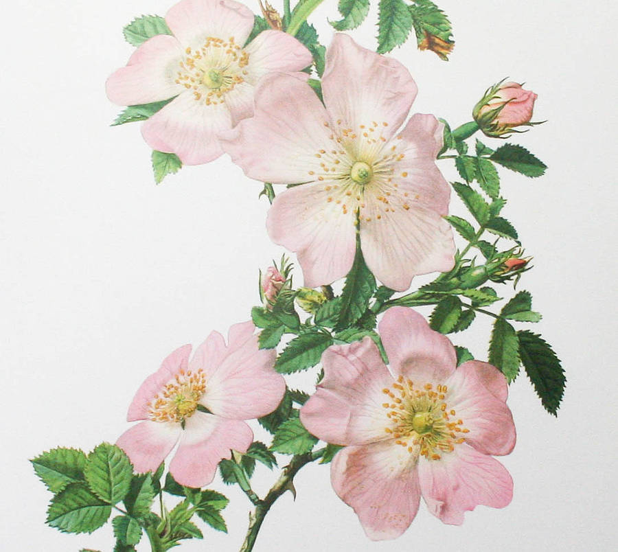 Vintage botanical print 39 wild roses 39 by bonnie and bell for Botanic fleurs artificielles