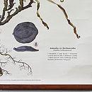 Vintage Botanical Chart 'Dianthus'