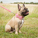 Red Collar on French Bulldog