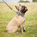 Collar on French Bulldog
