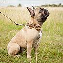 Collar on French Bulldog
