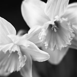 Daffodil, Black And White Signed Art Print - nature & landscape