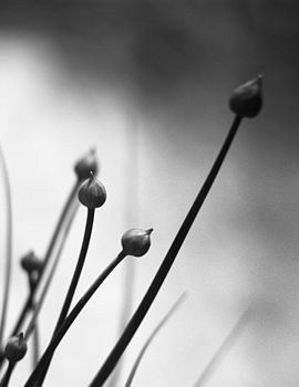 Chives, Black And White Signed Art Print