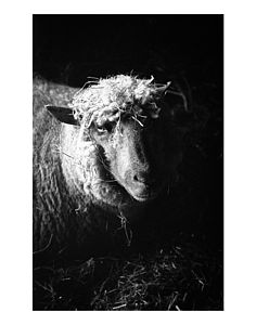 Ewe, Black And White Signed Print - posters & prints