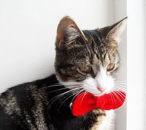 Cat Bow Tie Collar - cats