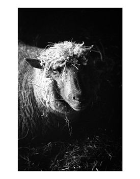 Ewe, Ltd Edition Original Print