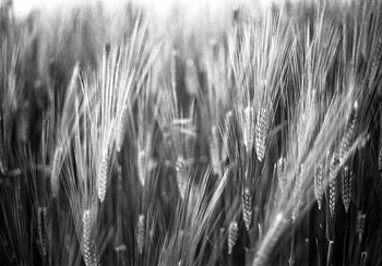 Wheat, Black And White Print