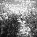 Brassica Napus, Black And White Signed Art Print