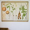 Vintage School Chart 'Pea Plant'