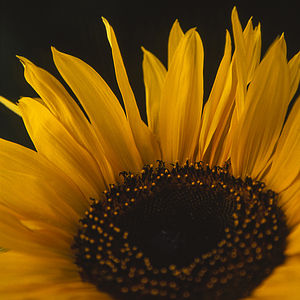 Sunflower, Signed Art Print