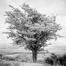 Tree, Exmoor, Black And White Signed Art Print