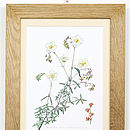Vintage Print Framed 'White Rock Rose'