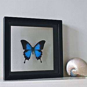 Papilio Ulysses Framed Butterfly - decorative accessories