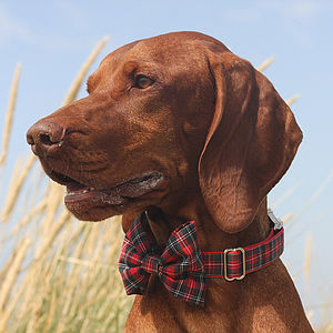 Scotty Bow Tie Dog Collar - walking