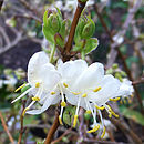 Fragrant Winter Honeysuckle