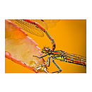 Large Red Damselflies Print