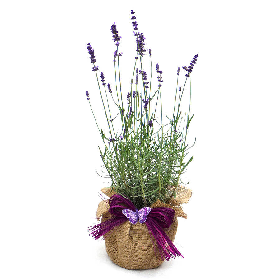Scented english lavender plant gift by giftaplant - Growing lavender pot ...
