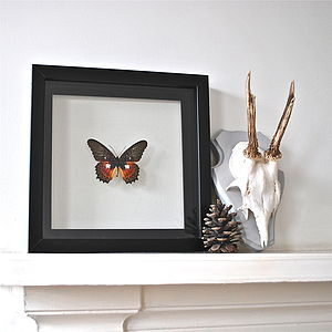 Cethosia Myrina Framed Butterfly - decorative accessories