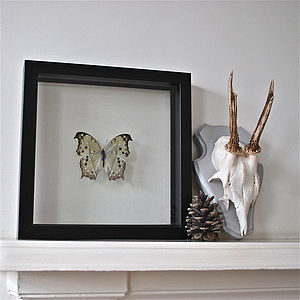 Salamis Framed Butterfly