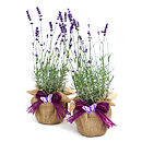 Plant Gifts Pair Of English Lavenders
