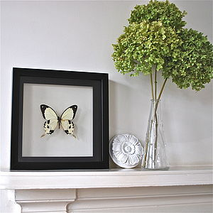 Papilio Dardanus Framed Butterfly - ornaments