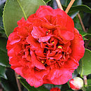 Plant Gifts Red Flowering Camellia