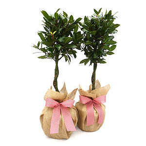 Mothers Day Gifts Pair Of Bay Trees - flowers & plants