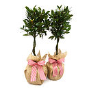 Pair Mini Stemmed Bay Trees