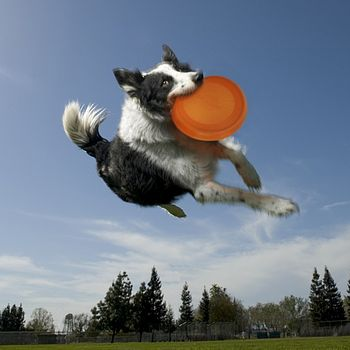 Dog Catching a ThrowBowl