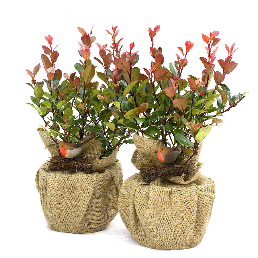 Plant Gifts Photinia Little Red Robin Pair By Giftaplant