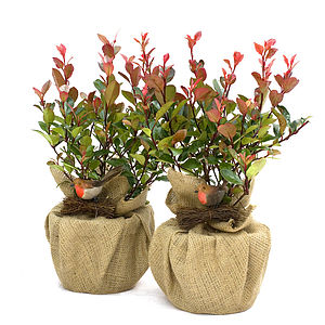 Plant Gift Pair Photinia Little Red Robin - flowers & plants