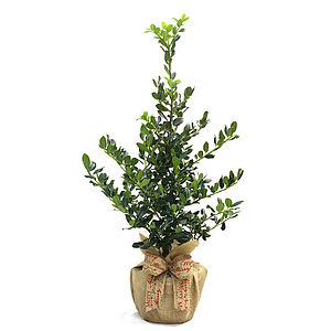 Plant Gifts Garden Holly Bush