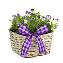 Plant Gifts Wonderful Viola Basket