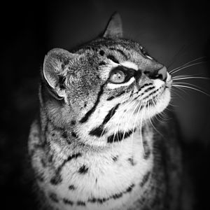 A Jeffrey's Cat, Black And White Print - animals & wildlife