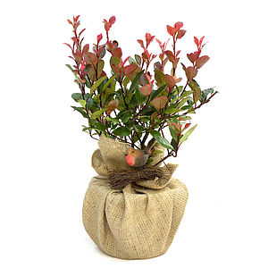 Birthday Plant Gift Photinia Red Robin