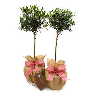 Pair Mini Stemmed Olive Trees - flowers, plants & vases