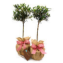 Pair Mini Stemmed Olive Trees