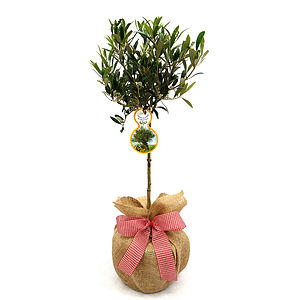 Mini Stemmed Olive Tree - easter home