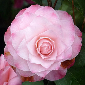 Valentines Day Romantic Gifts Camellia Desire - fresh & alternative flowers